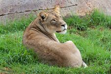 Free African Lion Royalty Free Stock Image - 35170826