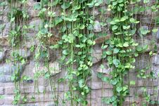 Free Green Ivy On Stone Wall Royalty Free Stock Photo - 35174135
