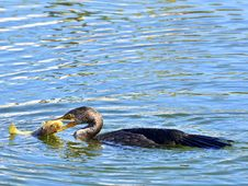 Free Cormorant With Fish Stock Image - 35177691