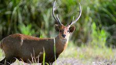 Deer Standing On Green Grass Field Royalty Free Stock Photos