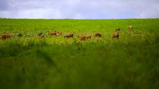 Free Deer Walking On Green Grass Field Royalty Free Stock Photos - 35180018