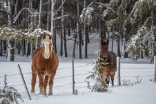 Free Two Horses In A Snow Covered Pasture Royalty Free Stock Images - 35189359