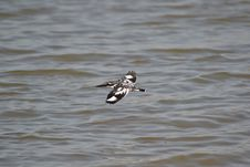 Free Pied Kingfisher Flying Royalty Free Stock Images - 35195179