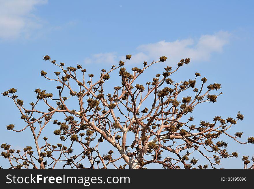 Gum Karaya &x28;Sterculia urens&x29; Tree