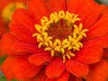 Free Zinnia Royalty Free Stock Photo - 3520545