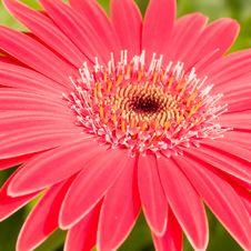 Free Asteraceae Stock Photos - 3520583