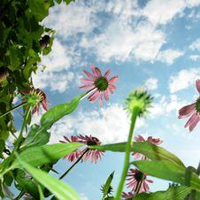 Echinacea Purpurea Royalty Free Stock Photography