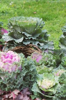 Free Cabbage Flowerbed Royalty Free Stock Images - 3522089
