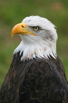 Free American Eagle Royalty Free Stock Images - 3522679