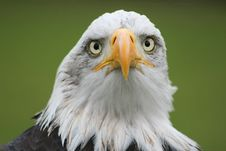 Free Looking Eagle Stock Photography - 3522692