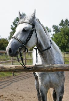 Free Beautiful Dappled Horse Stock Photos - 3522733
