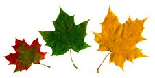 Free Maple Leaf Stock Photography - 3522762
