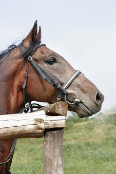 Free Beautiful Chestnut Horse Stock Images - 3522854