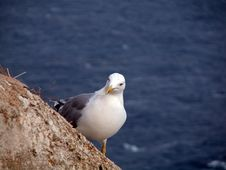 Free Seagull Stock Photo - 3522940