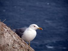 Free Seagull Royalty Free Stock Image - 3522946