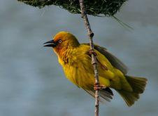 Free Cape Weaver Stock Photo - 3523730