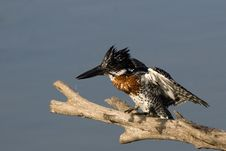 Free Giant Kingfisher Stock Photography - 3523972