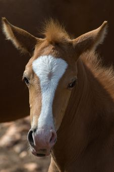 Free Foal Royalty Free Stock Photo - 3524045