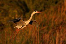 Free Grey Heron Stock Photo - 3524050