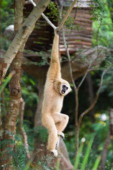 Free Gibbon Stock Image - 3525641