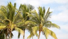 Free Coconut Trees Stock Photography - 3527712