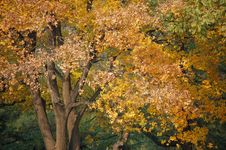 Free Autumn Tree Royalty Free Stock Photography - 3528057