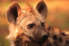 Free Hyena Youngster Portrait Royalty Free Stock Image - 3528156