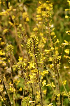 Free Wild  Yellow Flowers Stock Photo - 3529460