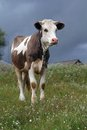Free Young Bull In A Meadow Stock Photos - 35200493