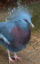 Free Crowned Pigeon Royalty Free Stock Photo - 35201045