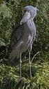 Free Shoebill Stork Royalty Free Stock Photo - 35202605