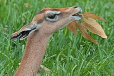 Free Gerenuk Stock Image - 35201161