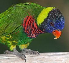 Free Lorikeet Stock Photos - 35201513
