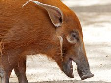 Free Pig Royalty Free Stock Images - 35201969