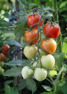 Free Tomatoes On Vine Royalty Free Stock Photo - 35202175