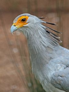 Free Secretary Bird Stock Image - 35202251