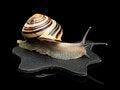 Free Garden Snail On A Leather Black Rag Royalty Free Stock Image - 35213876