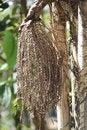 Free Betel Palm Tree Fruit Royalty Free Stock Photo - 35218645