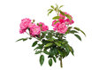Free Fairy Rose Stock Images - 35218764