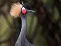 Free Crowned Crane Royalty Free Stock Image - 35219316