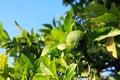 Free Wild Orange Tree Stock Images - 35219734