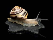 Free Garden Snail On A Leather Black Rag Royalty Free Stock Image - 35213876