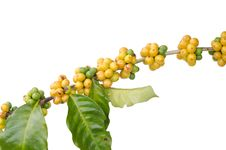 Free Coffee Beans On Trees Stock Photo - 35218770