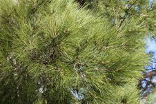 Free Conifer Branches Texture Stock Photos - 35219693