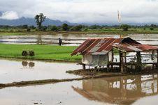 Free Rice Field In Rain Season Royalty Free Stock Image - 35220436