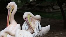 Free Pelicans Cleans Her Feathers Stock Image - 35223831
