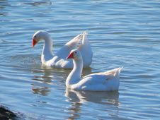 Free Geese On Lake Stock Photography - 35225862