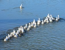 Free Geese On Lake Royalty Free Stock Images - 35225929
