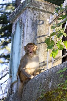 Free Monkey From Dharamshala Town. Royalty Free Stock Photo - 35228195