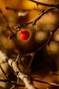 Free Berries And Thorns Stock Images - 35231404